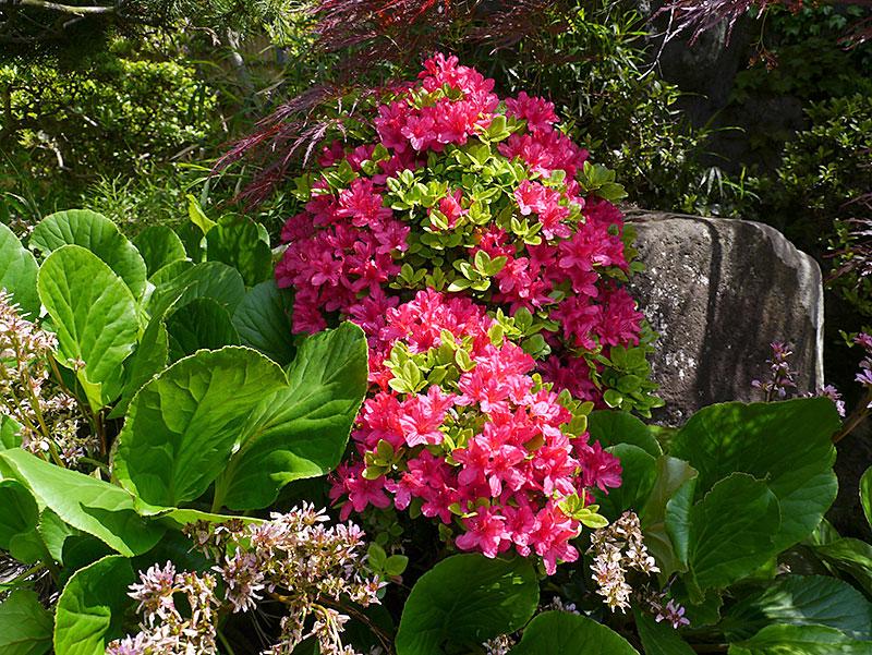 赤いツツジの花の写真